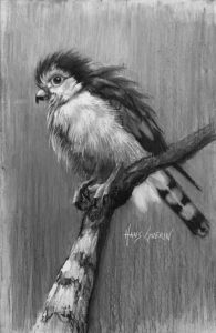 African Pygmy Falcon; 3.5x5 in; drawing; $250