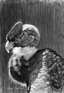 Andean Condor; 4 x 5.5 in,; drawing; $250