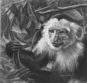 Costa Rican Capuchin; 4.5x5 in; drawing; $300